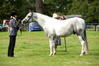 Class 42 - Anglo & Part Bred Arab In Hand